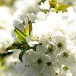 ostadar_primavera